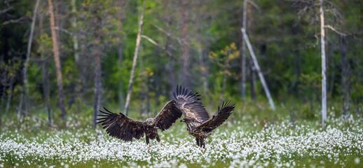 Juvenile White-tailed eagles i in the meadow with white flowers. . Scientific name: Haliaeetus albicilla, Ern, erne, gray eagle, Eurasian sea eagle and white-tailed sea-eagle. Summer season.