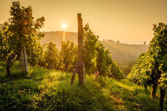 Weinberg Rebstöcke Weinstöcke im Gegenlicht Sonne