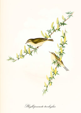 Two cute birds on two yellow flowered thin single  isolated branches. Old colorful and detailed illustration of Willow Warbler (Phylloscopus trochilus ). By John Gould publ. In London 1862 - 1873