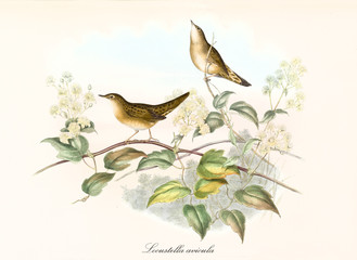 Two cute birds on a botanical composition arranged with thin branches, leaves and flowers. Old illustration of Common Grasshopper Warbler (Locustella naevia). By John Gould publ. In London 1862 - 1873