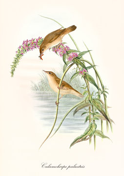 Two little cute birds fooding on aquatic vegetation with a pond in background. Old colorful and detailed illustration of Marsh Warbler (Acrocephalus palustris). By John Gould, 1862 - 1873