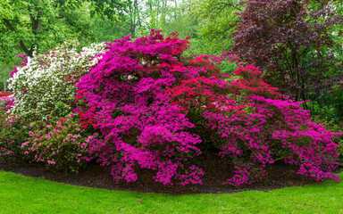 Pink, white and red blooming bushes of Azalea japonica, Rhododendron as nature background in spring garden, park.