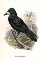Single isolated crow in profile view posing on a dry branch outdoor. Detailed hand drawed vintage of Rook (Corvus frugilegus). By John Gould publ. In London 1862 - 1873