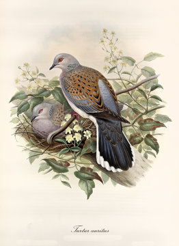 Turtledove posing on a branch while its partner rests in the nest. Vintage style hand colored illustration of European Turtle Dove (Streptopelia turtur). By John Gould publ. In London 1862 - 1873