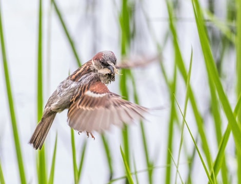 Sparrow hunting among grasses with insect in beak