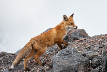Red fox in the mountains