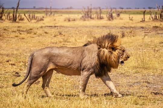 Close-up side view of a male lion walking past the camera, with his long mane blowing in the wind.