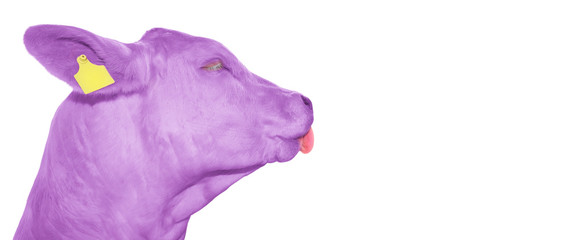 Portrait of funny purple cow