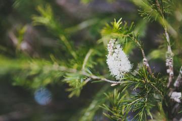 native Australian melaleuca plant with white flowers