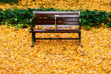 Bright yellow ginkgo leaves covered ground and empty vintage wooden bench in autumn