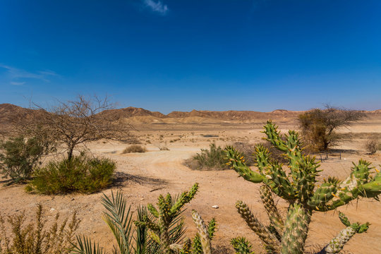 Bright Green Cactus in the Dry Desert Landscape. Sunny Day with Blue Cloudless Sky.
