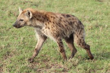 Wall Murals Hyena Spotted hyena walking in the grass, Masai Mara National Park, Kenya.