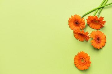 Beautiful gerbera flowers on color background