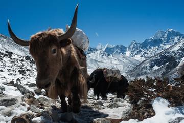 Papiers peints Népal Yak in Nepal mountain