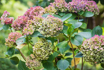 Fotobehang Hydrangea hydrangea flowers in the garden