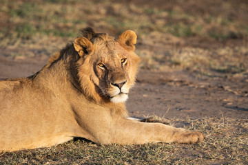 Young Male Lion laying in the Masai Mara