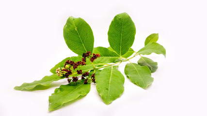 Whole Stem of Santalum Album with Leaves Stem and Fruit