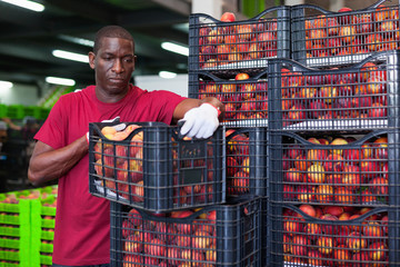 Positive Afro workman stacking boxes with harvested peaches on fruits sorting department