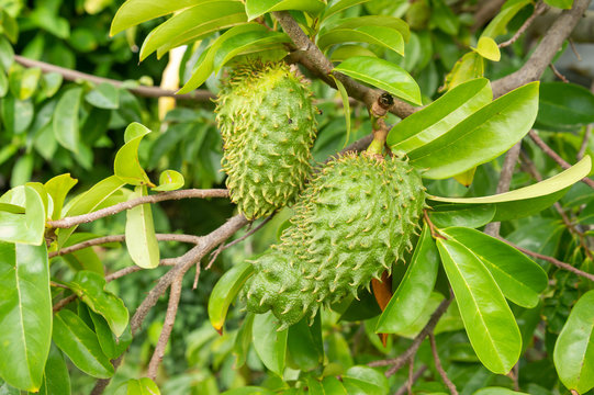 Soursop fruits on their trees