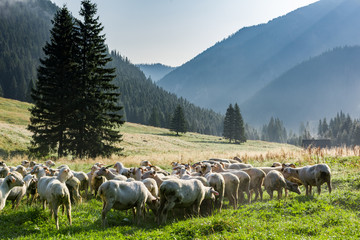 Fototapeta Sheep grazing on Meadow at Early Morning in Tatras Mountains Chocholowska Valley,Poland obraz