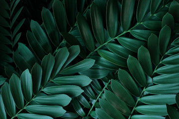 Wall Mural - Dark green leaves pattern of cardboard palm or cardboard cycad (Zamia furfuracea) evergreen plant native to Mexico, abstract nature green background.