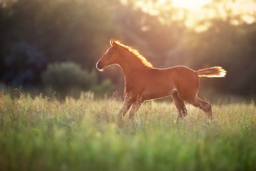 Foto auf Acrylglas Wiesen / Sumpfe Beautiful red foal run and fun on spring green sunrise field