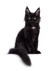 Wall Mural - Cute solid black Maine Coon cat kitten, sitting side ways facing front. Looking straight ahead to camera with golden eyes. Isolated on white background. Long tail hanging over edge.