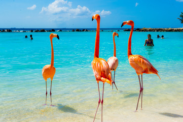 Aluminium Prints Flamingo Pink flamingo on the beach from Aruba