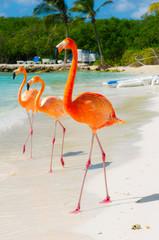 Foto op Canvas Flamingo Pink flamingo on the beach from Aruba