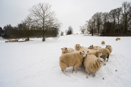Sheep in snow covered field, Kent
