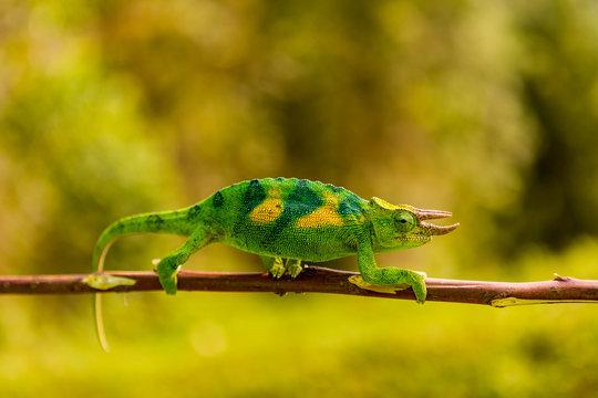 Three-horned Chameleon in Volcanoes National Park, Rwanda