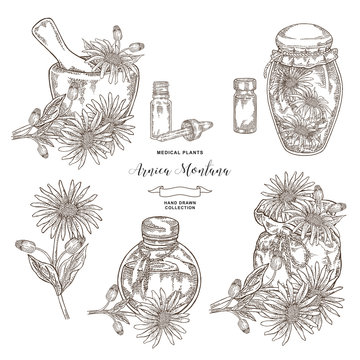 Arnica montana plant. Flowers of arnica, wooden mortar, textile bag and glass bottles. Medical hebs collection. Vector illustration botanical. Engraving style.