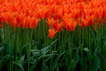 Foto auf Acrylglas Tulpen Field with tulips Netherlands. Dutch landscape/ Agriculture/ Bulbs