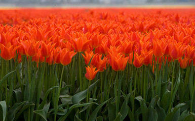 Aluminium Prints Tulip Field with tulips Netherlands. Dutch landscape/ Agriculture/ Bulbs
