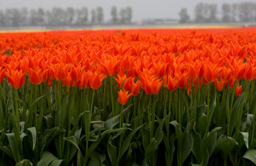 Aluminium Prints Tulip Field with tulips Netherlands. Dutch landscape/ Agriculture/ Bulbs