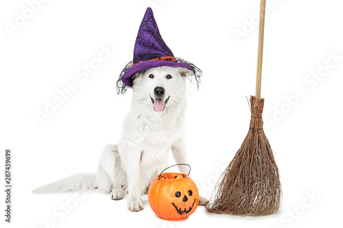 Swiss shepherd dog in hat with halloween pumpkin and broom on white background