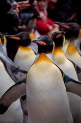 Pinguinmarsch