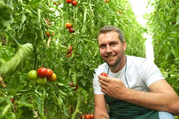 Bauer im Gewächshaus bei der Ertne von reifen Tomaten und Kostprobe // Farmer in the greenhouse...