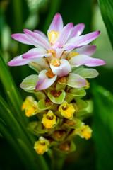 View of soft flowering wild turmeric curcuma longa plant
