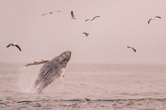 A young Humpback whale breaches out of the water along the central coast of California in the Monterey Bay.