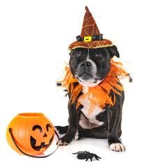 staffordshire bull terrier and halloween