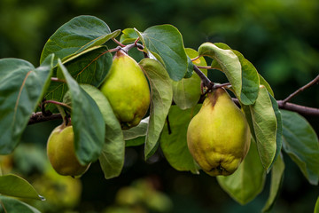 View of quince foliage and ripening fruit in the summer garden