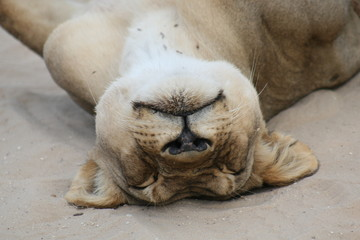 schlafender Löwe Löwin Portrait im Kruger National Park in Südafrika