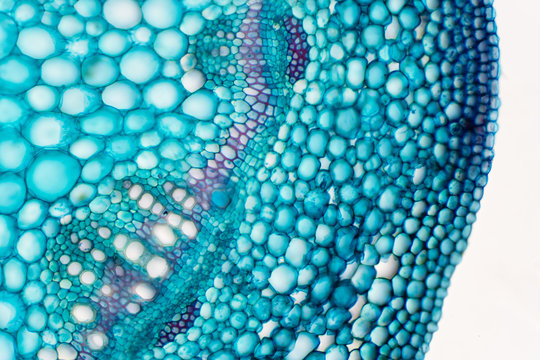 Cross sections of plant stem under microscope view.