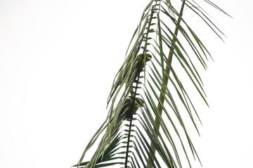 Door stickers Palm tree Maritacas nas folhas das Palmeiras
