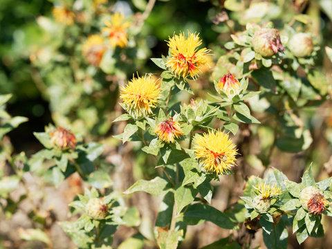 Carthamus tinctorius -  Fleurs de Carthame des teinturiers ou Safran des teinturiers à floraison globulaire teintée de jaune orange et rouge en période estivale