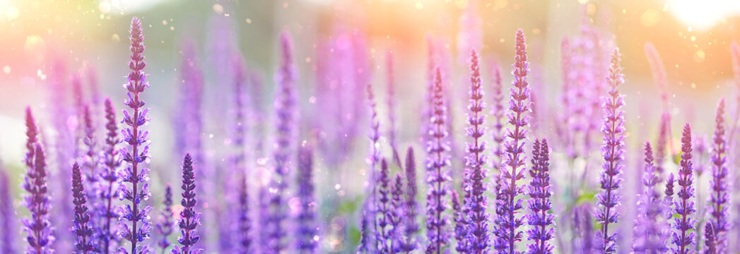 purple flowers of decorative sage field. Beautiful flowers background. Bumbleberry Salvia, Woodland Sage, Salvia Nemorosa in sunlight. Gentle artistic toned flower backdrop for design. soft focus