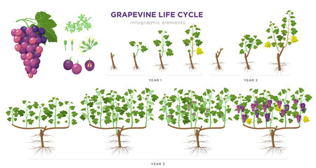 Grapevine growing stages infographic elements in flat design. Planting process of grape 1 - 3 years from seeds, sprout, bud break, flowering, fruit set, veraison, harvest, ripe grape bunch isolated.