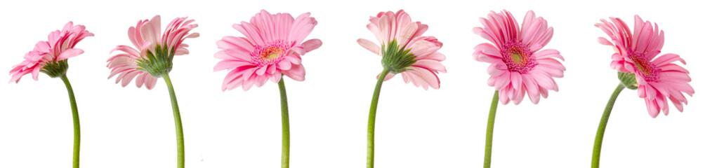 Fotobehang Gerbera fleurs de Gerbera roses, différentes vues sur fond blanc