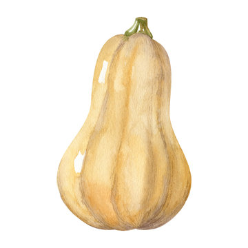 Watercolor illustration with butternut squash isolated on white background. Watercolor handdrawn clipart.